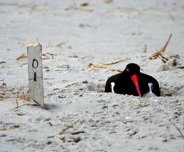 Nickerson Beach Birds, 4-21-12