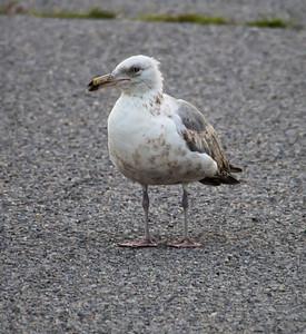 Nickerson Beach Birds June 30, 2012