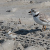 Piping Plover and Chick