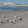 Great Black-backed Gulls At Nickerson Beach
