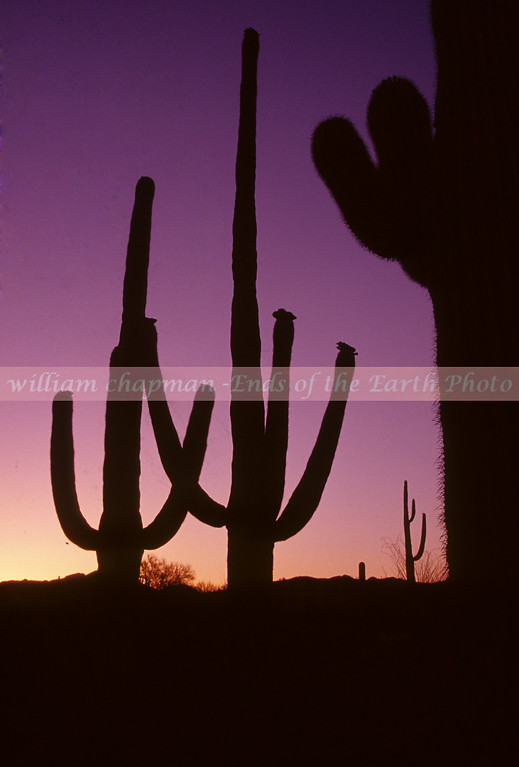 Saguaro Purple Glow