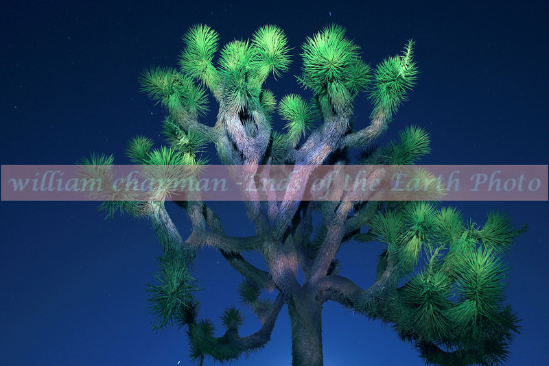 Joshua Tree Painting by Light