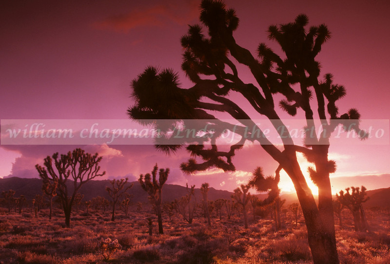 Joshua Tree Dawn