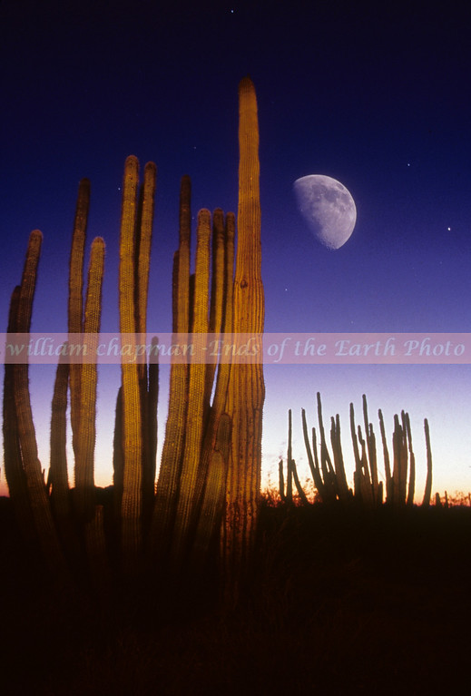 Organ Pipe Cactus Moonrise