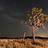 Joshua Trees at night.  Joshua Tree National Park, California, USA.
