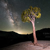 The Milky Way behind the classic tree at Olmstead Point in the high country of Yosemite National Park, California, USA