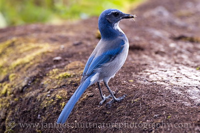 California Scrub-Jay at Ridgefield National Wildlife Refuge near Ridgefield, Washington.
