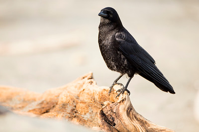 American Crow perched on a piece of driftwood.  Photo taken at Norwegian Point Park in Hansville, Washington.