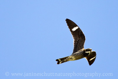 Common Nighthawk flying above Johnston Ridge at the Mt. St. Helens National Volcanic Monument in Washington.