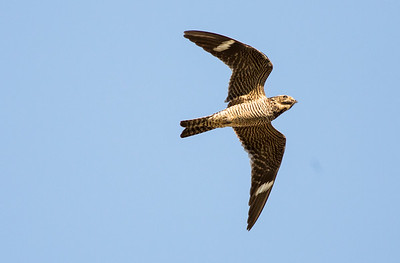 Common Nighthawk in flight.  Photo taken at the Lmuma Creek Recreation Area near Ellensburg, Washington.