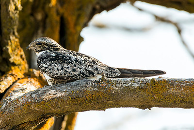 Roosting Common Nighthawk at Horn Rapids County Park near Richland, Washington.