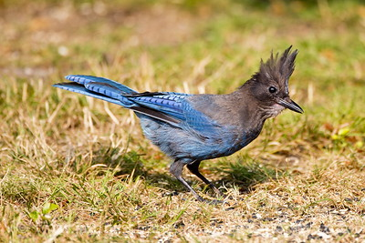 Steller's Jay near Seabeck, Washington.