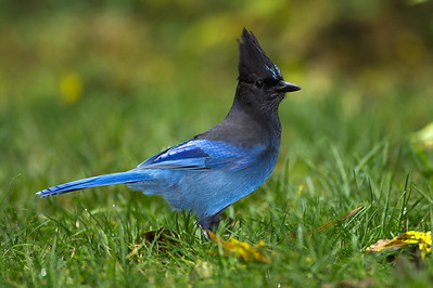 Steller's Jay near Bremerton, Washington.