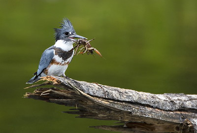 Female Belted Kingfisher with a crayfish for lunch.  Photo taken at Flaming Geyser State Park near Auburn, Washington.