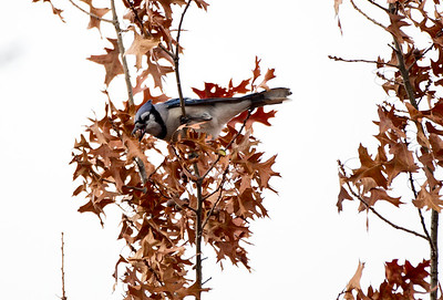 Vagrant Blue Jay at Steptoe Butte State Park near Steptoe, Washington.
