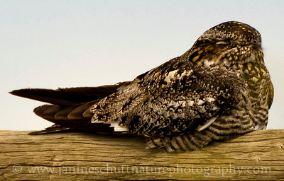 Common Nighthawk resting at Swanson Lakes Wildlife Area near Creston, Washington.