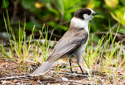 Canada Jay on Green Mountain near Seabeck, Washington.