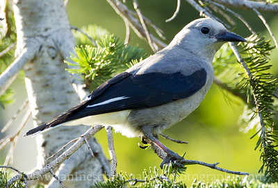 Clark's Nutcracker at Paradise, Mt. Rainier National Park in Washington.