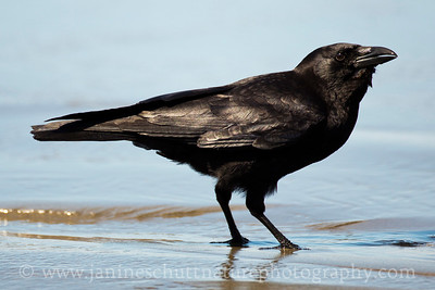 American Crow at Second Beach along the Pacific Ocean near La Push, Washington.