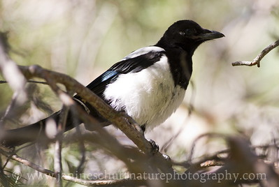 Black-billed Magpie at the Vernita Rest Area in Benton County, Washington.