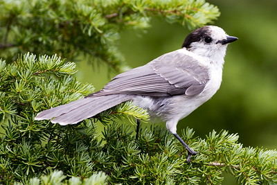 Canada Jay near Paradise at Mt. Rainier National Park in Washington.