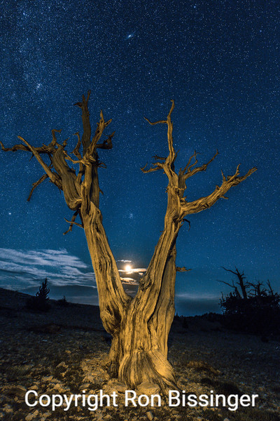 Bristlecone Moonrise