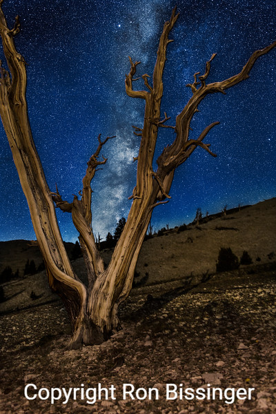 Moonlit Bristlecone
