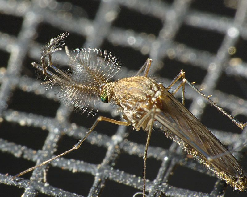 Mosquito on flyscreen.