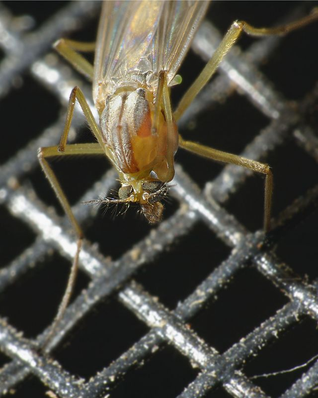 Mosquito on flyscreen, close up.