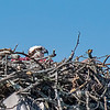Osprey on nest at Bill Moore baseball field in Guntersville