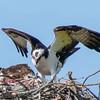 Ospreys on the nest at Bill Moore baseball field in Guntersville