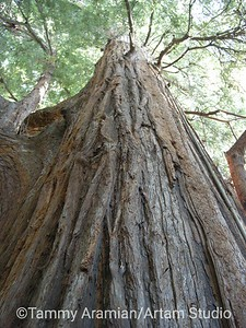 """El Palo Alto"" - ""The Tall Tree"" - the actual redwood tree which is the official symbol of both the City of Palo Alto and Stanford University"