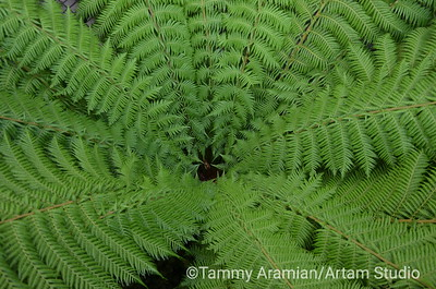 Australian tree fern, San Francisco