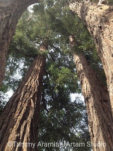 stand of redwoods, Belmont