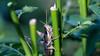 Vagrant grasshopper, Schistocerca nitens, a nonnative grasshopper in Hawai`i