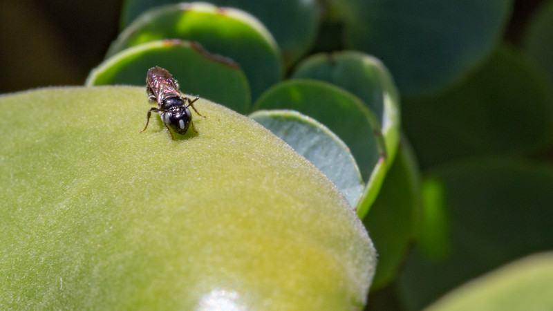Yellow face bee, Hylaeus strenuus, a nonnative bee in Hawai`i