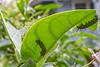 Monarch butterfly, Danaus plixippus, on crown flower, both nonnative to Hawai`i.