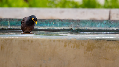 Common Myna, Indian Myna, or House Myna (Acridotheres tristis) not native to Pacific Islands but common in Hawaii.
