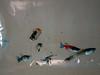 Mosquitofish, Gambusia affinis, an invasive freshwater fish in Hawai`i