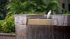 Cattle Egret, Bubulcus ibis, a nonnative invasive bird in Hawai`i.