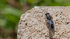Black soldier fly, Hermetia illuscens, a nonnative insect of Hawai`i