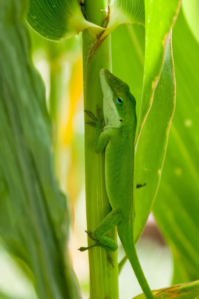 Green anole, Anolis carolinensis, a nonnative reptile in Hawai`i