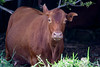 Cow, Bos taurus, a nonnative ungulate in Hawai`i