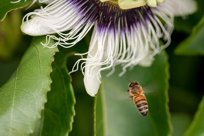European honeybee, Apis mellifera, a nonnative pollinator in Hawai`i.