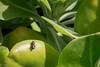 Small carpenter bee, Ceratina smaragdula, a nonnative bee in Hawai`i