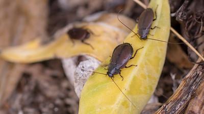 Surinam cockroach, Pycnoscelus surinamensis, a nonnative plant pest in Hawai`i