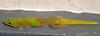 Gold dust day gecko, Phelsuma laticauda laticauda, a nonnative gecko in Hawai`i