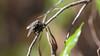 Flesh-fly, Sarcophaga africa, a nonative fly in Hawai`i