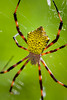 Golden orb spider, Argiope appensa, a nonnative spider in Hawai`i