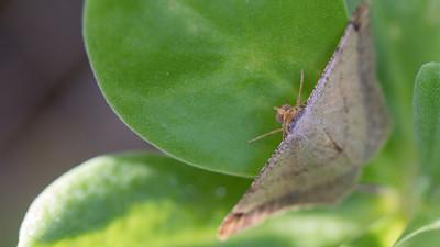 Koa haole moth, Macaria abydata, a nonnative moth of Hawai`i
